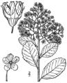 Spiraea alba var latifolia BB-1913.png