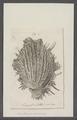 Spondylus aurantius - - Print - Iconographia Zoologica - Special Collections University of Amsterdam - UBAINV0274 074 10 0027.tif
