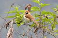 Spot-breasted Parrotbill.jpg