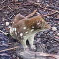 Spotted-tail Quoll V Queens-Park.jpg