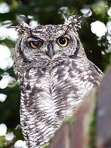 Owls!                                                                                                                                            220px-SpottedEagleOwl2539MGEyeLid