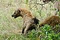 Spotted Hyenas (Crocuta crocuta) taking over a kudu carcass after lions departure ... (50132595273).jpg