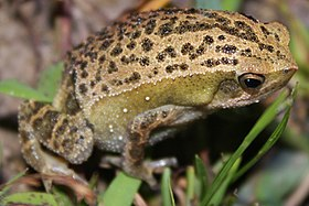 Spotted Narrow-mouthed Frog (Kalophrynus interlineatus) 花細狹口蛙10.jpg