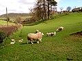 Spring Lambs - geograph.org.uk - 148609.jpg