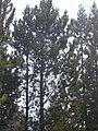 Starr-010515-0125-Pinus pinaster-habit-Hosmers Grove HNP-Maui (24532609375).jpg