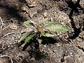 Starr-030222-0086-Charpentiera obovata-seedling planted-Auwahi-Maui (23991900844).jpg