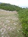Starr-040711-0404-Ipomoea imperati-habit-Mokuleia-Oahu (24688060206).jpg