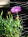 Starr-080103-1346-Lampranthus sp-flowers and leaves-Lowes Garden Center Kahului-Maui (24873293186).jpg
