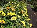 Starr-080219-2900-Thunbergia alata-yellow flowered variety-Enchanting Floral Gardens of Kula-Maui (24609189950).jpg