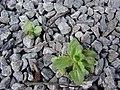 Starr-090401-5504-Veronica arvensis-habit-Olinda-Maui (24857617671).jpg