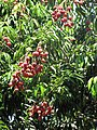 Starr-090610-0565-Litchi chinensis-fruit and leaves-Haiku-Maui (39544314170).jpg