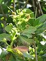Starr-090813-4189-Barringtonia asiatica-spent flowers-Kamalii Park Kahului-Maui (24878143911).jpg