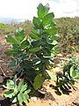 Starr-090813-4267-Calotropis procera-habit-Kanaha Beach-Maui (24972161705).jpg
