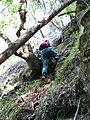 Starr-091127-1538-Aleurites moluccana-habit with Forest scrambling up steep rock face-Olinda-Maui (24964436336).jpg