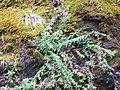 Starr-100430-5223-Erigeron karvinskianus-habit-Iao-Maui (24913969622).jpg