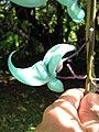Starr-110330-3816-Strongylodon macrobotrys-flower-Garden of Eden Keanae-Maui (24453912313).jpg