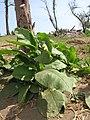 Starr-120412-4625-Nicotiana tabacum-habit-Waihee Coastal Preserve-Maui (24843692980).jpg