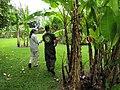 Starr-120606-6838-Musa x paradisiaca-unknown varieties habit with Kim and Ian-Kahanu Garden NTBG Hana-Maui (25051111231).jpg