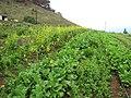 Starr-120608-7320-Brassica rapa-crop-Ulupalakua Ranch-Maui (25027055942).jpg