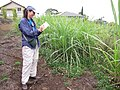 Starr-120620-7456-Cenchrus purpureus-green bana grass biofuel trials with Kim-Kula Agriculture Station-Maui (25052432931).jpg