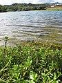 Starr-130319-2938-Bacopa monnieri-habit in Kilauea stream-Rock Quarry Beach Mokolea Pt Kilauea Pt NWR-Kauai (24581587133).jpg