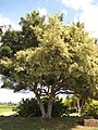 Starr-130320-3430-Ficus benjamina-variegated habit reverting back to non variegated-Sea Cliff Kilauea-Kauai (24582363663).jpg