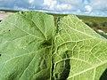 Starr-130911-0972-Sicyos maximowiczii-leaf front and back-NE Lake-Laysan (24592571594).jpg