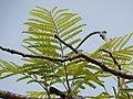 Starr-140222-0399-Colvillea racemosa-leaves-Hana-Maui (24613861203).jpg