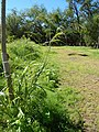 Starr-141025-2469-Panicum antidotale-habit-Kawela Bridge-Molokai (24880101499).jpg
