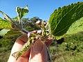 Starr-141229-3185-Ageratum conyzoides-flowers and leaves-Hoku Nui Piiholo-Maui (24954604680).jpg