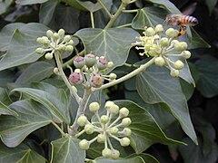 Herbatika-lekovito bilje  - Page 3 240px-Starr_010419-0021_Hedera_helix