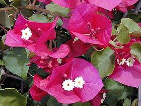 Starr 030418-0061 Bougainvillea spectabilis.jpg