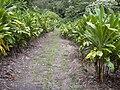 Starr 030807-0111 Cordyline fruticosa.jpg
