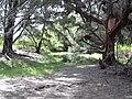 Starr 040121-0020 Casuarina equisetifolia.jpg