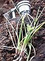 Starr 040513-0063 Unknown cyperaceae.jpg