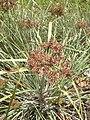 Starr 040613-0060 Cyperus javanicus.jpg