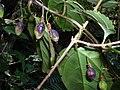 Starr 041229-2747 Passiflora suberosa.jpg