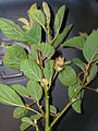 Starr 060305-6550 Waltheria indica.jpg