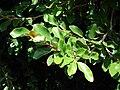 Starr 070111-3185 Ficus pumila.jpg