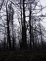 Starr 070908-9148 Pinus sp..jpg