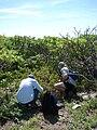 Starr 080603-5688 Solanum nelsonii.jpg
