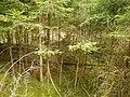 Staudenbahn eingewachsener Bahndamm mit Nadelhölzern.jpg
