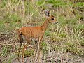 Steenbok (Raphicerus campestris) female (11688069976).jpg