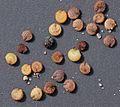 Stellaria media seeds, vogelmuur zaden.jpg
