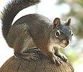 Steve the Squirrel, Grand Lake, CO 8-28-12 (7938959880).jpg