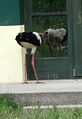 Stork attacking own mirror image.jpg