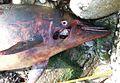 Stranded Stenella coeruleoalba - ZooKeys-365-005-g004D.jpg
