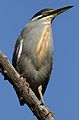 Striated heron, Butorides striata, up in a dead tree at Pilanesberg National Park, Northwest Province, South Africa (27795709442).jpg