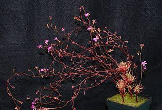 Stylidium turbinatum - S. turbinatum in cultivation.