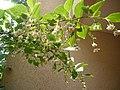 StyraxJaponica JapaneseSnowbell Egonoki 3.jpg